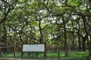 banian_tree