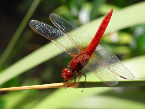 dragonfly-689626