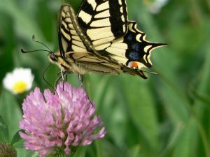Machaon4
