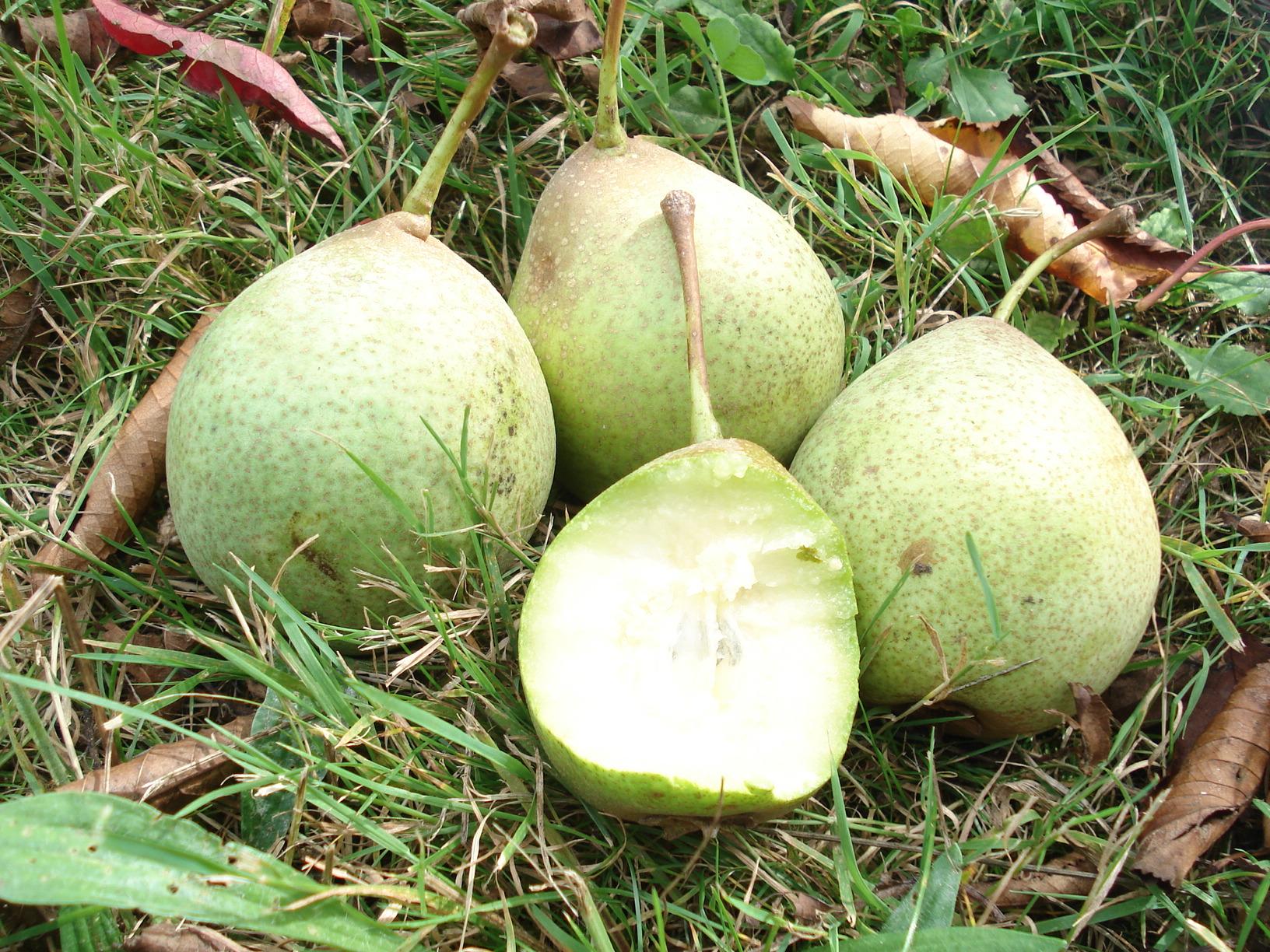 Le fruitiers ancien du mois la poire verdi re prom 39 haies en nouvelle aquitaine - Peut on congeler des poires ...