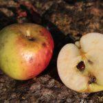 Pomme de Caunay